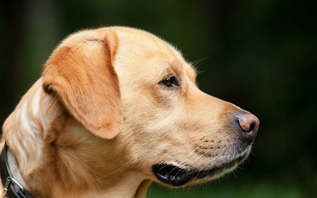 Cimici dei letti:  5 motivi per cui il cane è l'unica soluzione per trovarle (e per fare una disinfestazione efficace)
